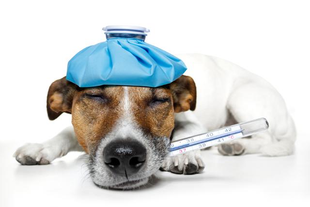 Hund Frisst Tapete An Was Tun : Wenn ein Hund matt wirkt, nicht frisst oder sehr viel mehr trinkt als