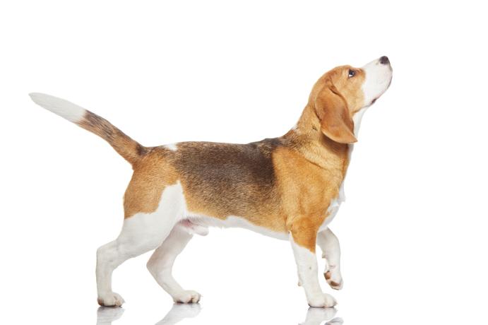 Beagle-13978763