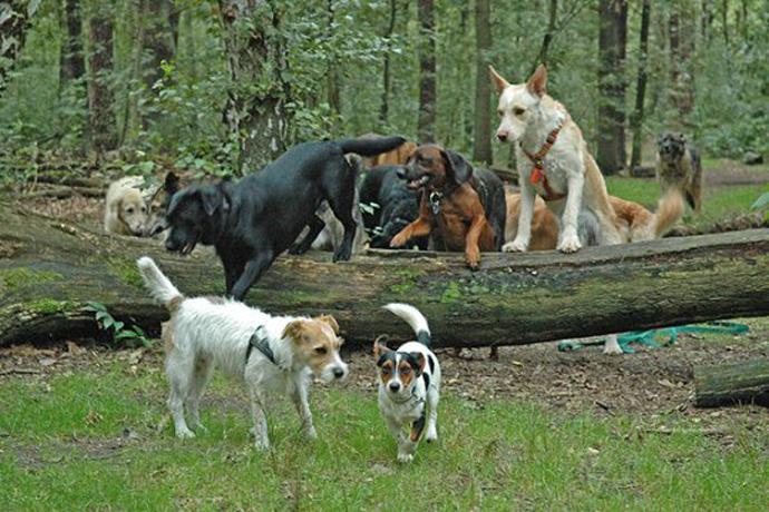 dogwalker sollen nur noch mit vier hunden laufen d rfen. Black Bedroom Furniture Sets. Home Design Ideas