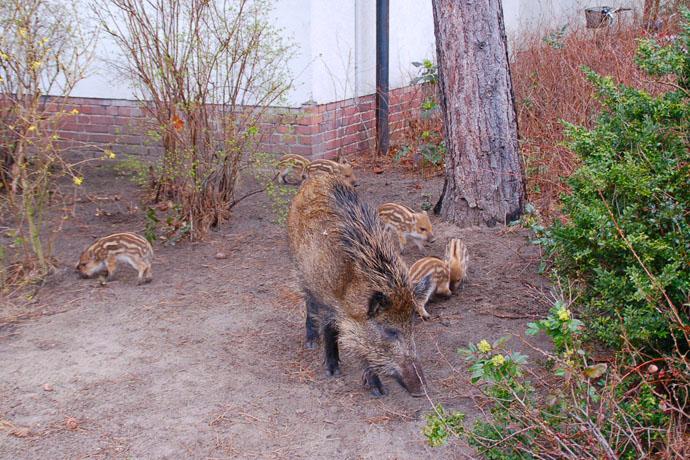 Wildschweine-Berliner Forsten
