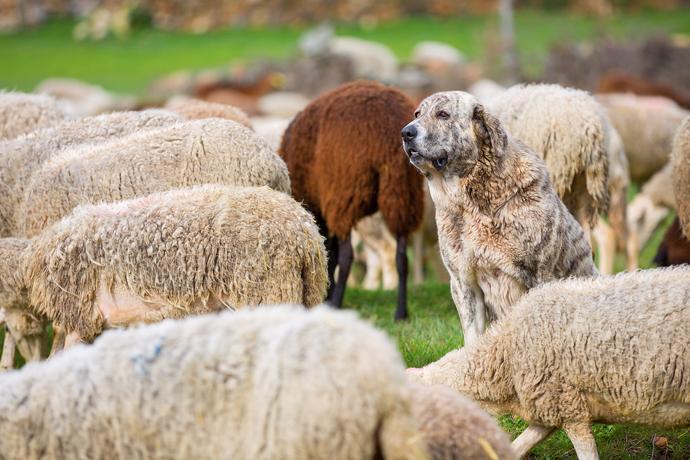 osteuropäischer schäferhund wesen