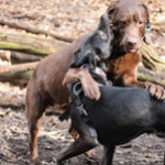 dackel und anderer hund