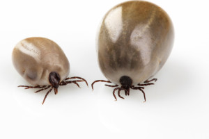 Zecken sind nicht nur lästig, sie übertragen auch gefährliche Krankheiten.